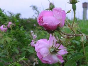 El Valle de las Rosas - Bulgaria Kazanlak