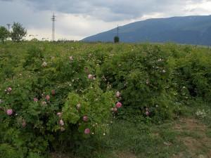 las Rosas - Bulgaria